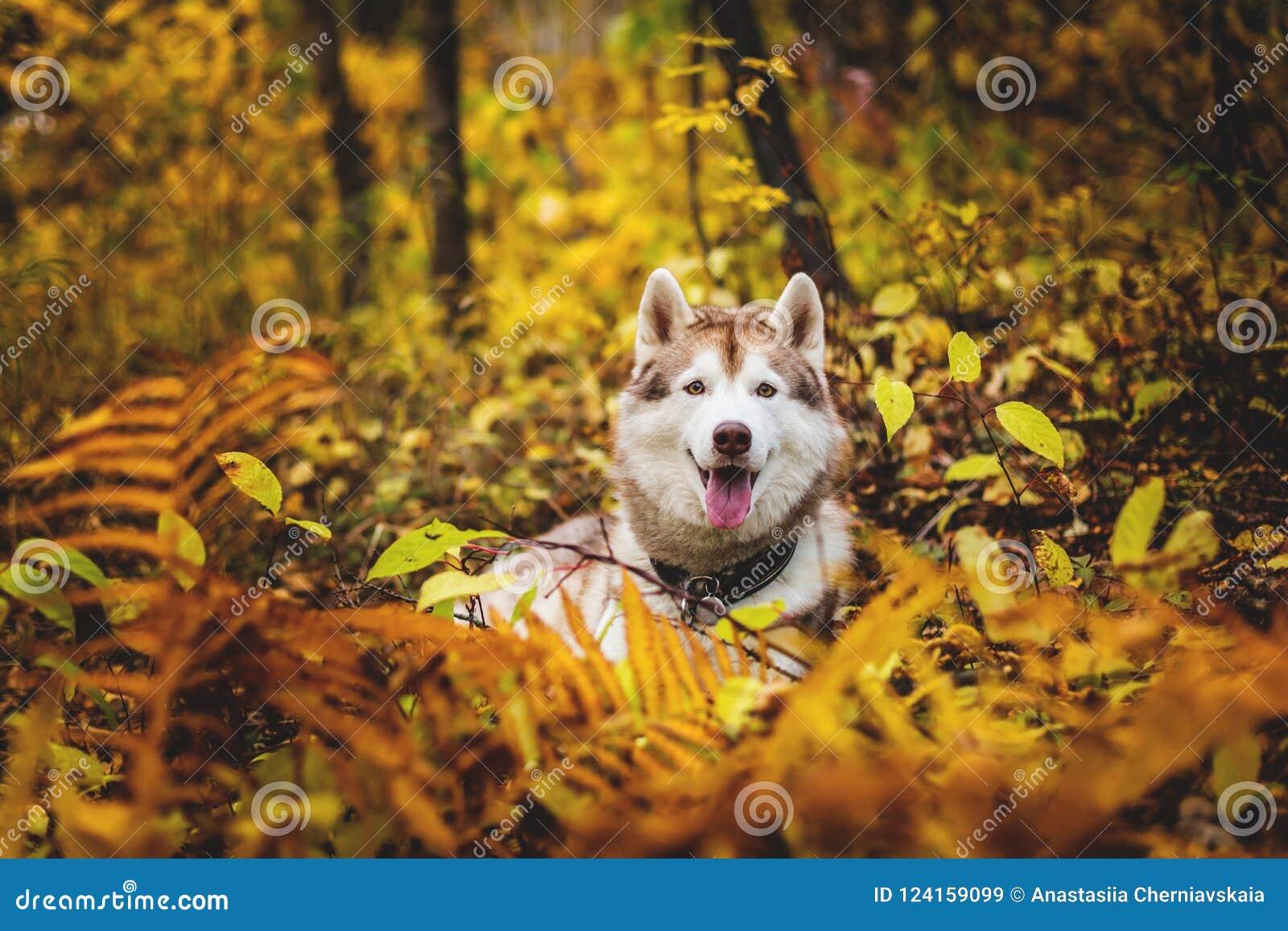 Портрет собаки сибирской лайки лежа в ярком лесе падения на заходе солнца