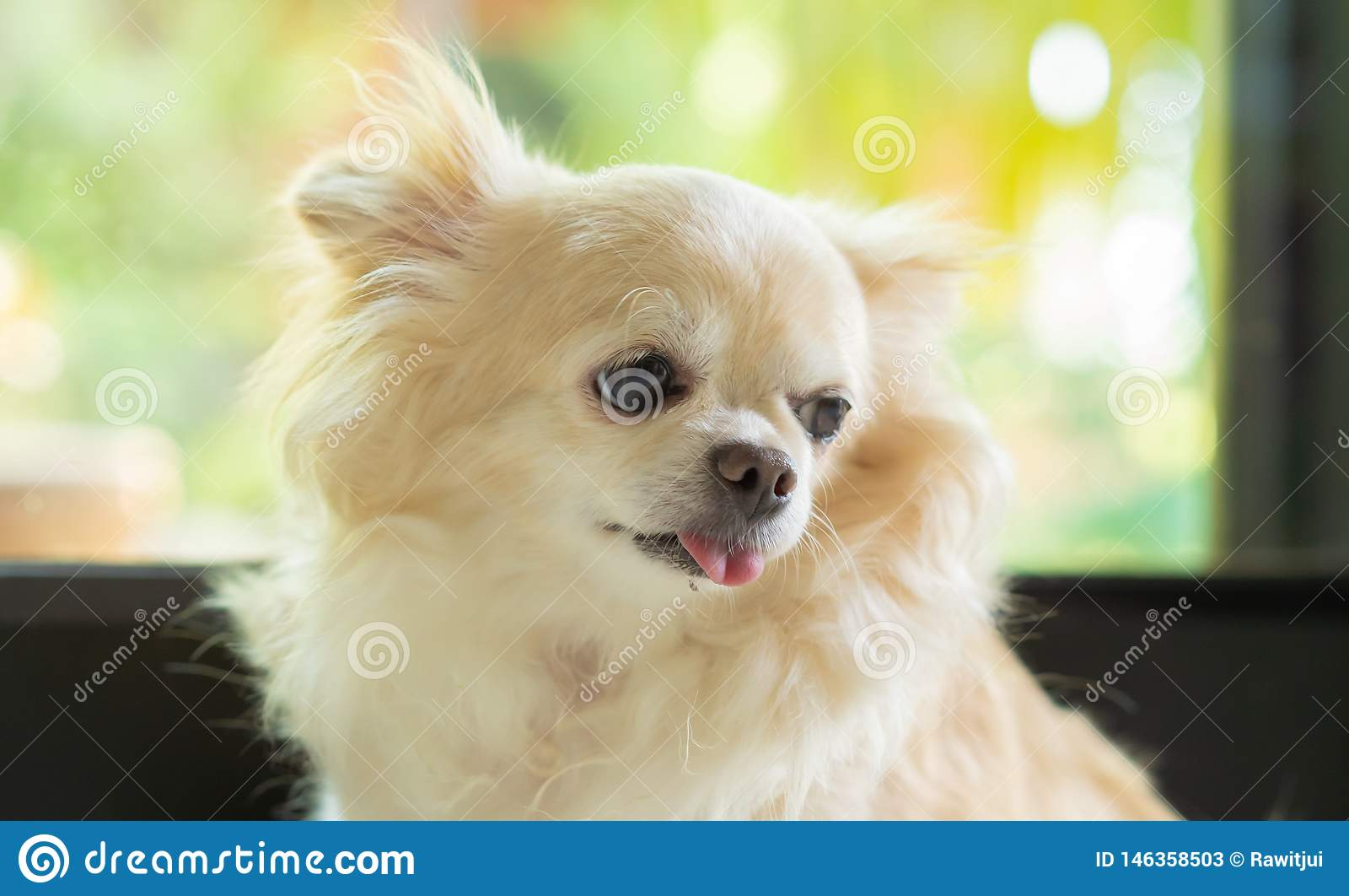 Портрет собаки чихуахуа