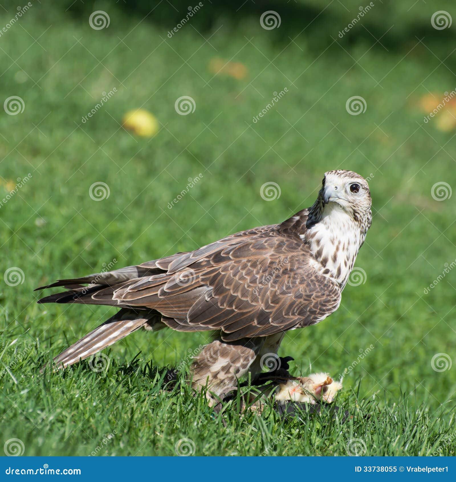 Портрет сокола Saker (cherrug Falco)