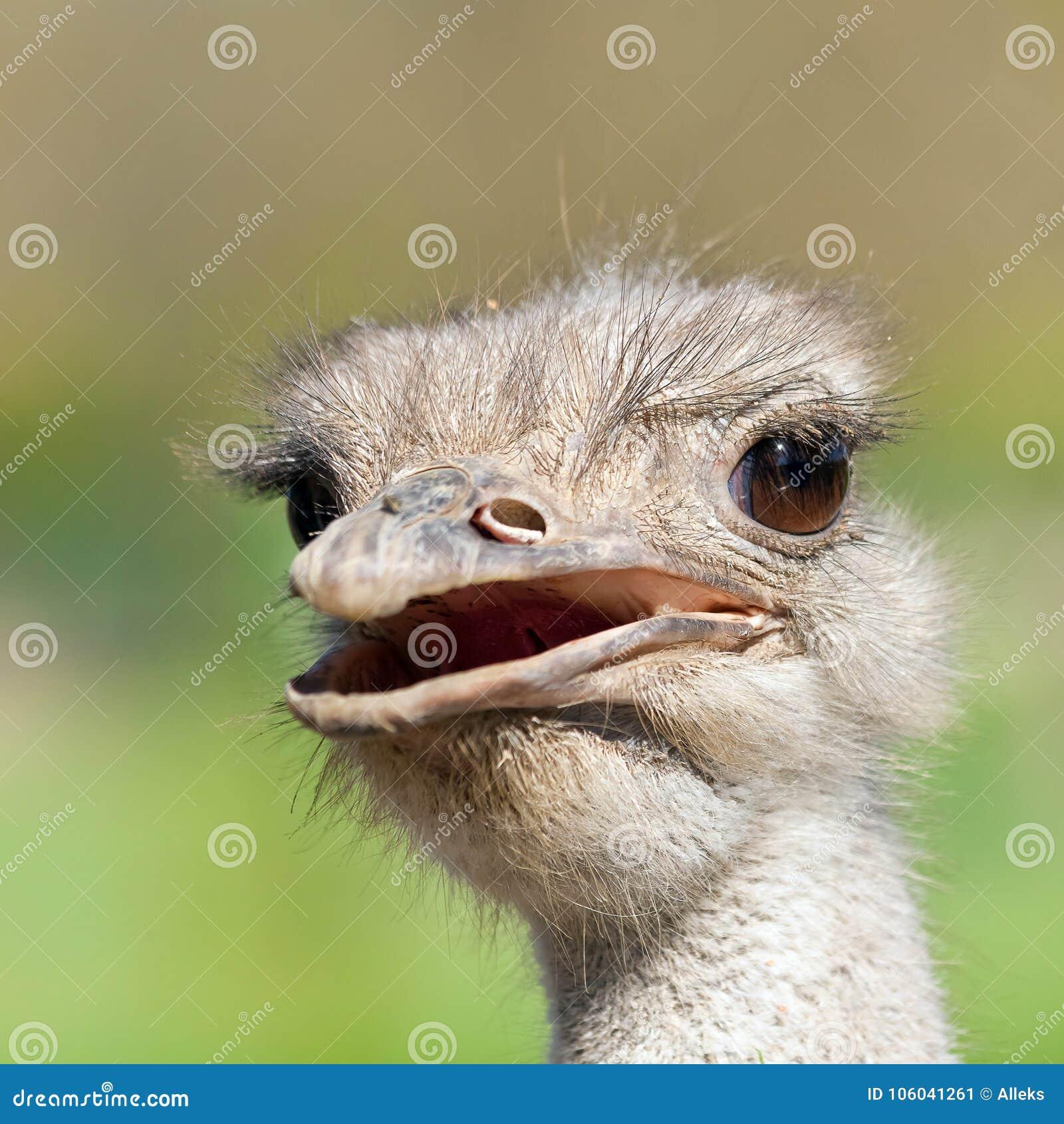 Портрет страуса с открытым концом-вверх рта Заточите на глазах съемка