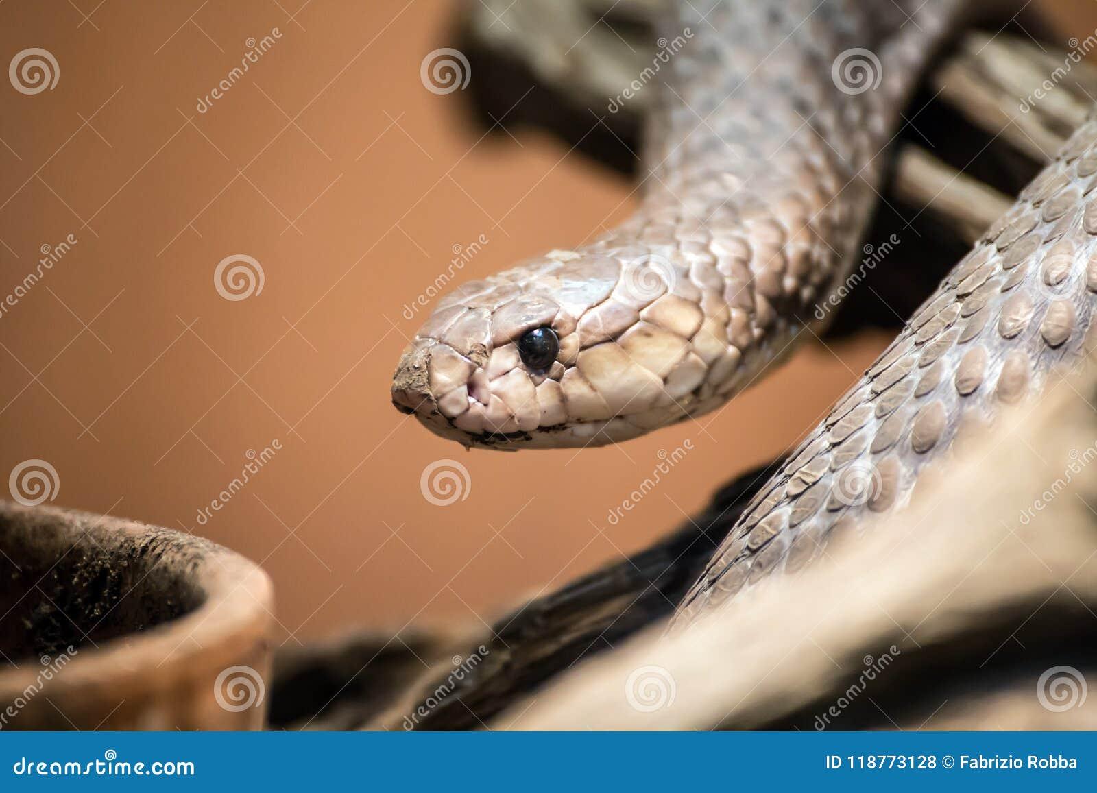 Портрет тайпана, Oxyuranus, одна из самых ядовитых и самых смертельных змеек в мире