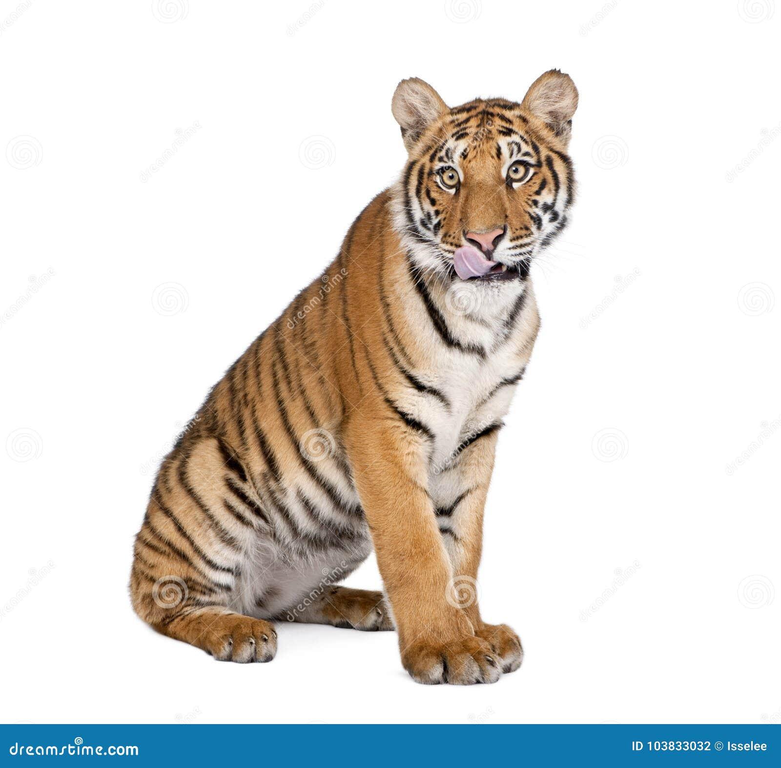 Портрет тигра Бенгалии, пантеры Тигра Тигра, 1-ти летнего