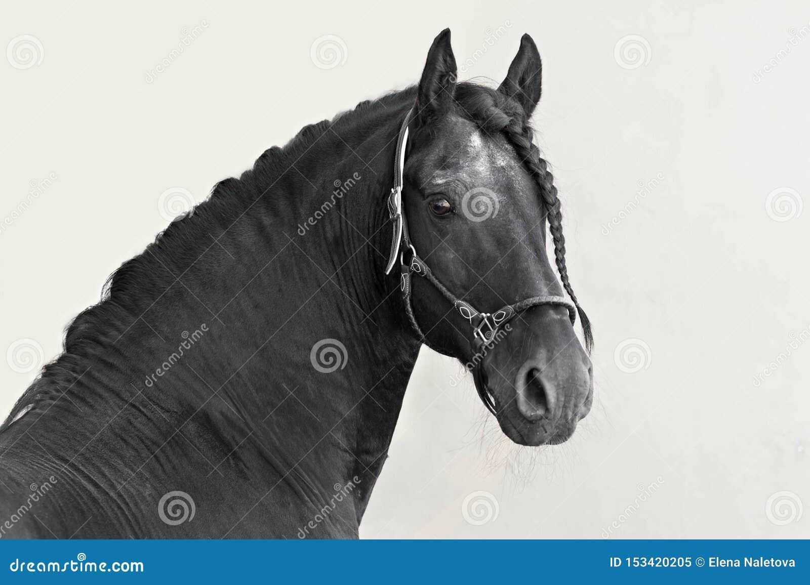 Портрет черного жеребца Frisian на светлой предпосылке