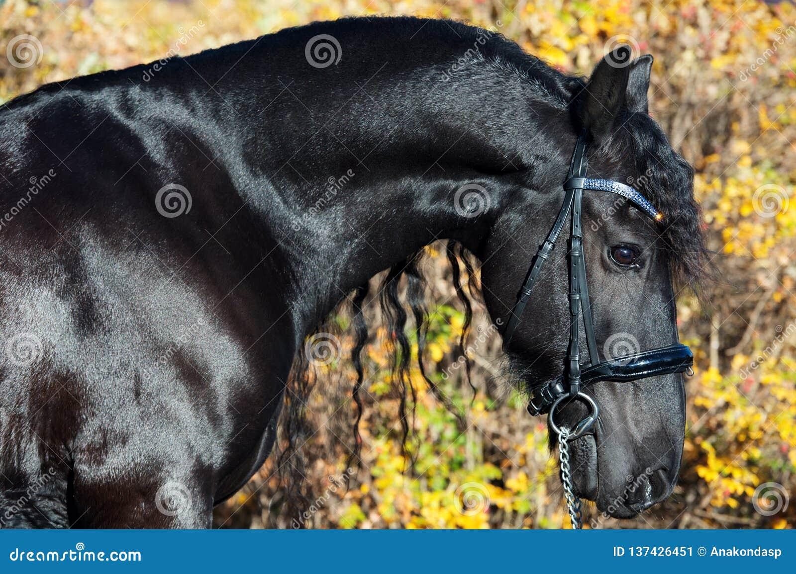 Портрет черной лошади Frisian представляя в красивом месте конец вверх