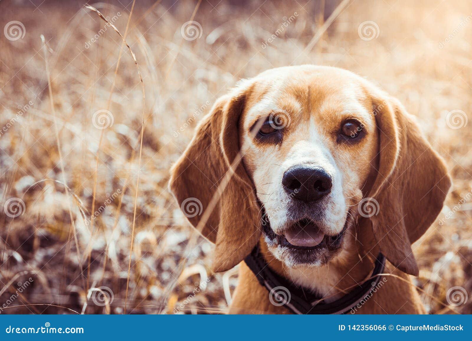 Портрет чистой собаки бигля породы Конец бигля вверх по усмехаться стороны собака счастливая