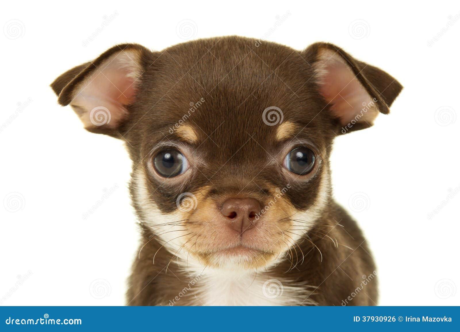 Портрет щенка чихуахуа