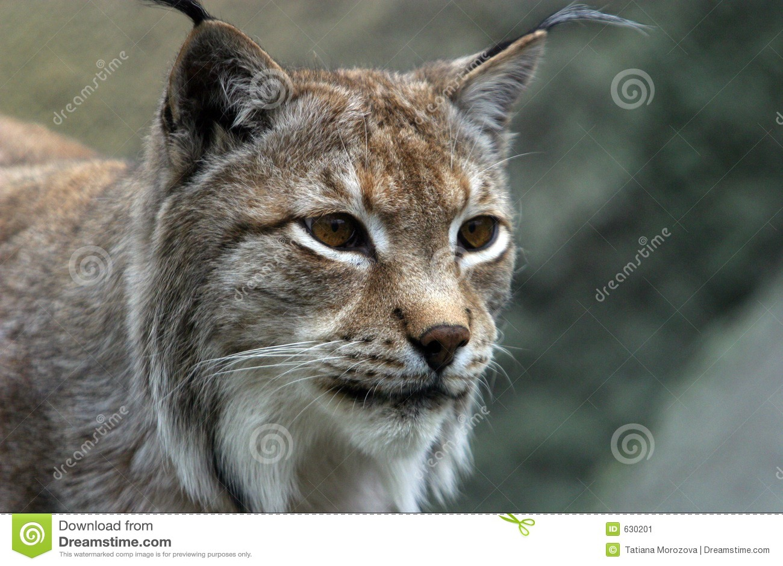 Download портрет lynx стоковое изображение. изображение насчитывающей bock - 630201