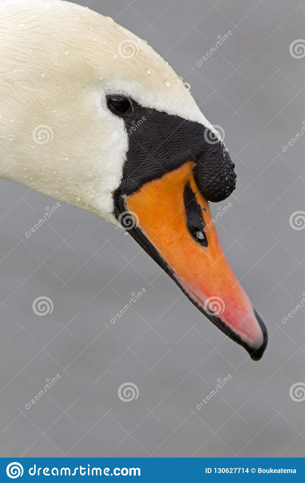 Портрет olor Cygnus безмолвного лебедя которое питьевая вода