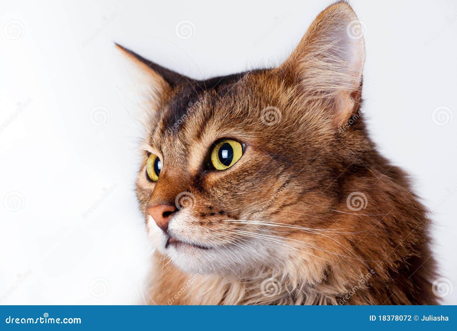 портрет rudy кота сомалийский