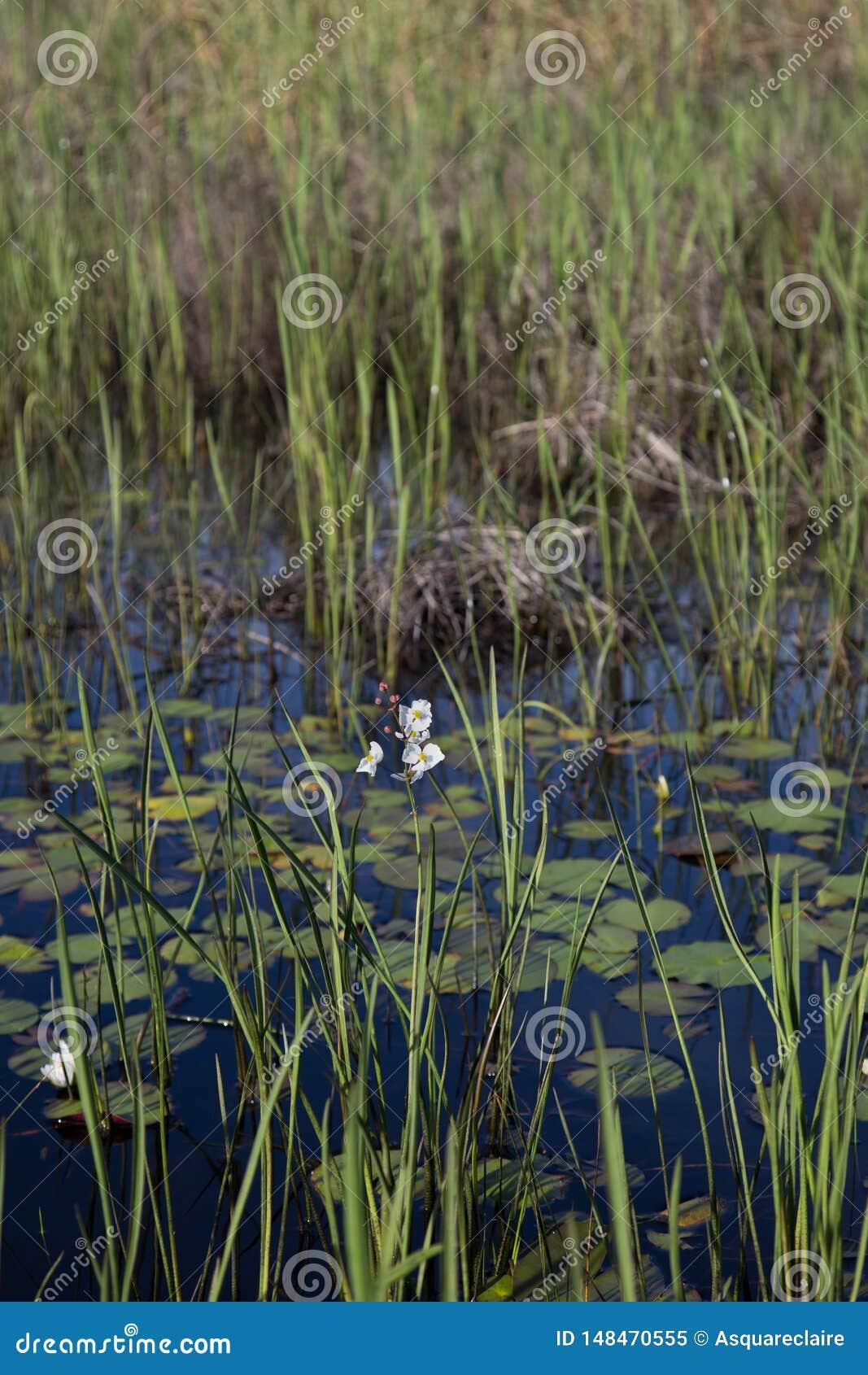 Портрет wildflower и тростников наконечника Englemann белого растя в темной воде, реалистическом естественном свете