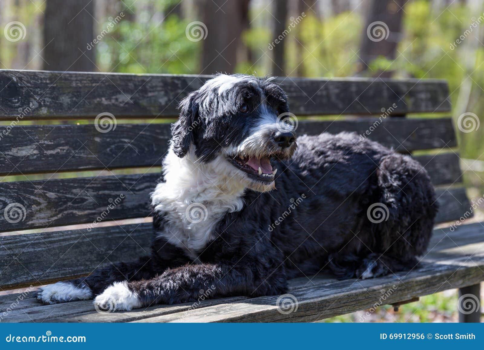 Португальская собака воды на стенде