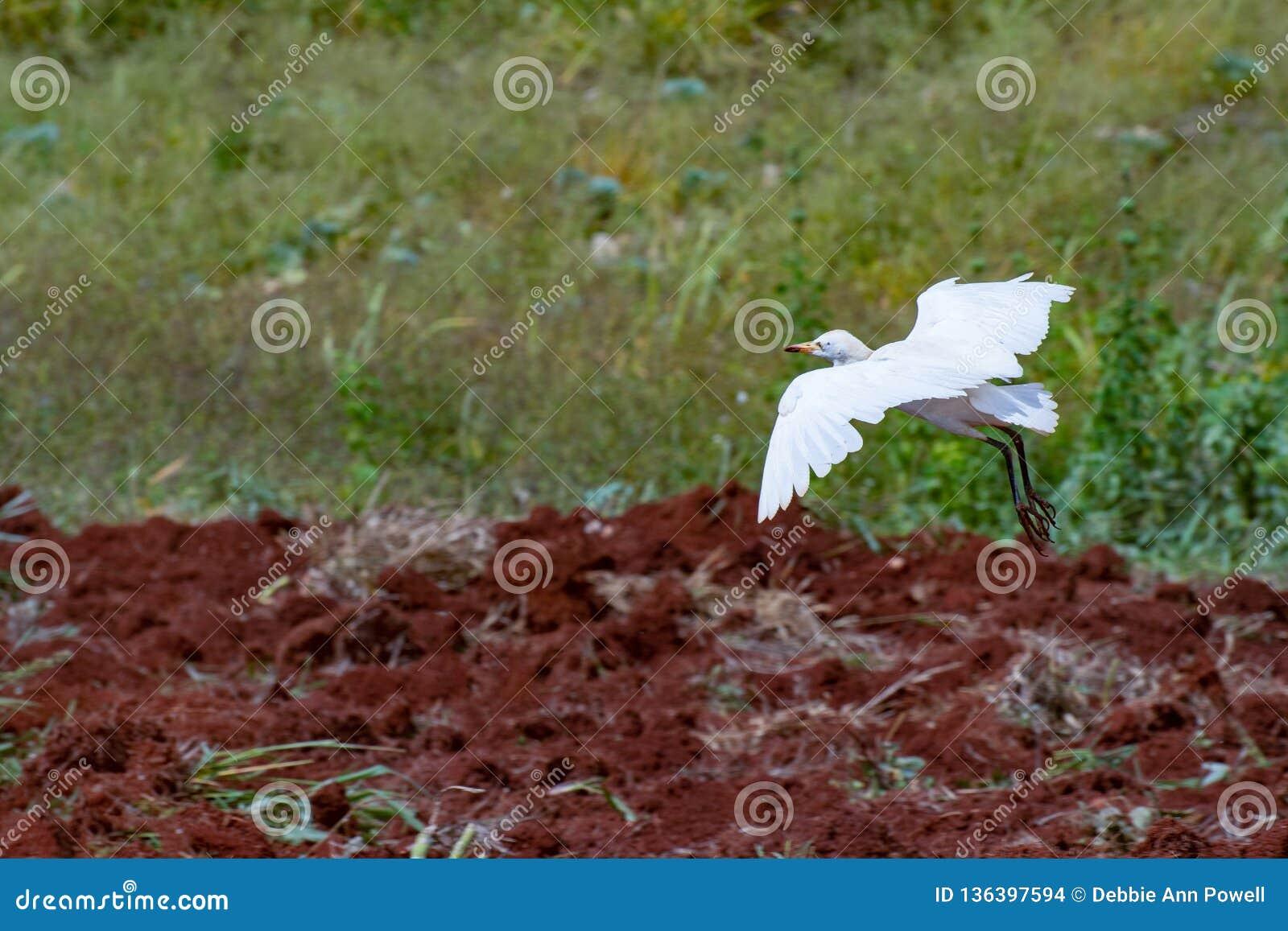 Посадка Egret скотин на заново вспаханных сельскохозяйственных угодьях