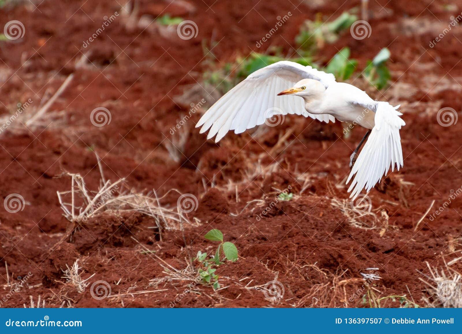 Посадка Egret скотин на сельскохозяйственном угодье сельской местности