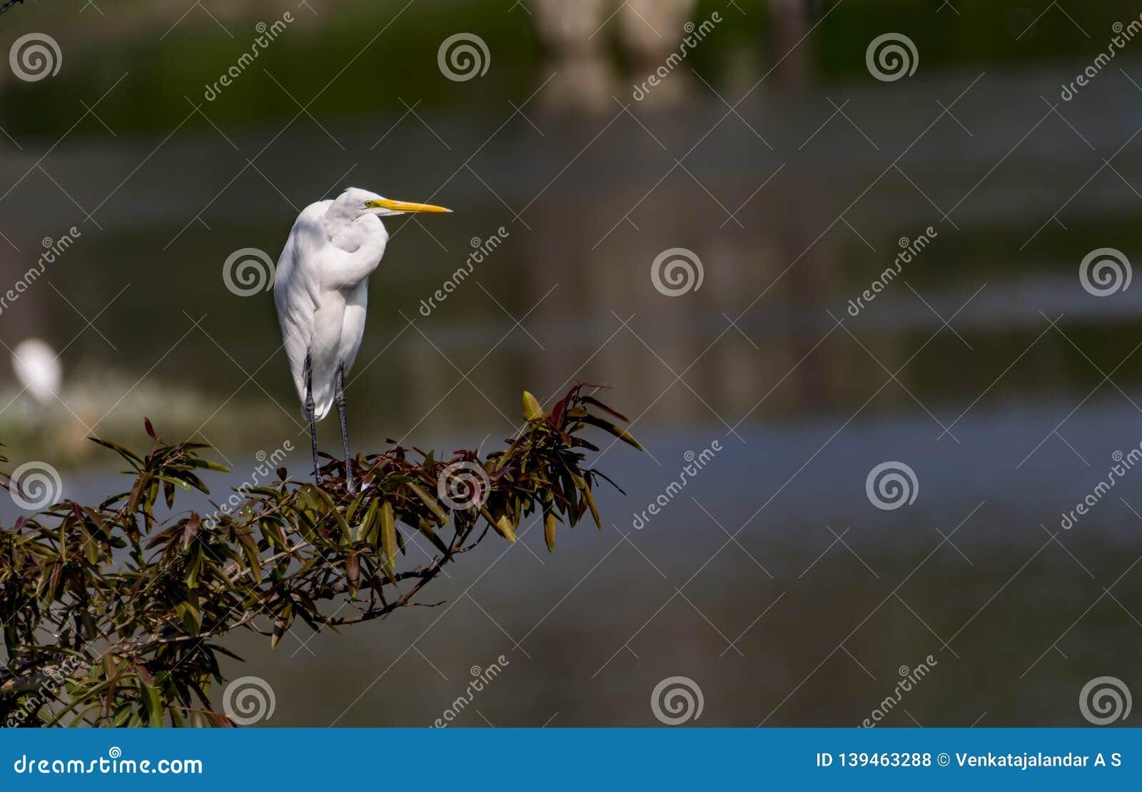 Посмотрите вперед: Egret скотин/Bubulcus ibis в нормальном оперении