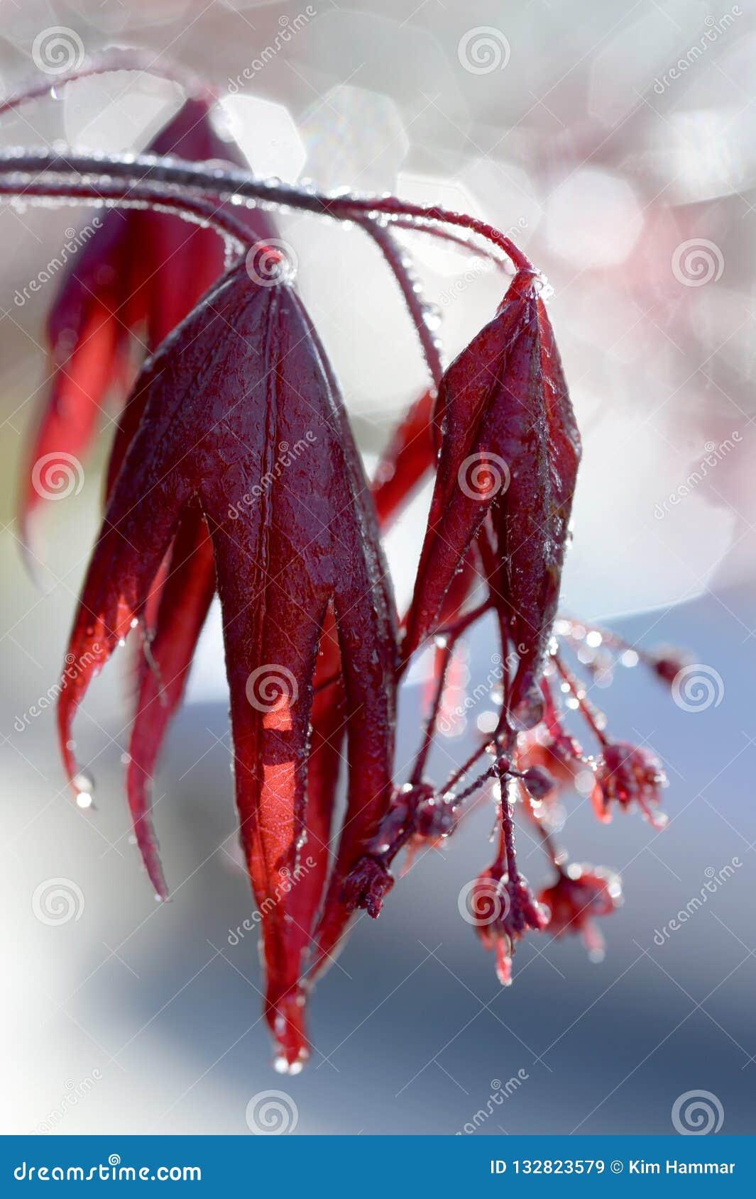 Потеки росы от японских кленовых листов в солнечном свете раннего утра