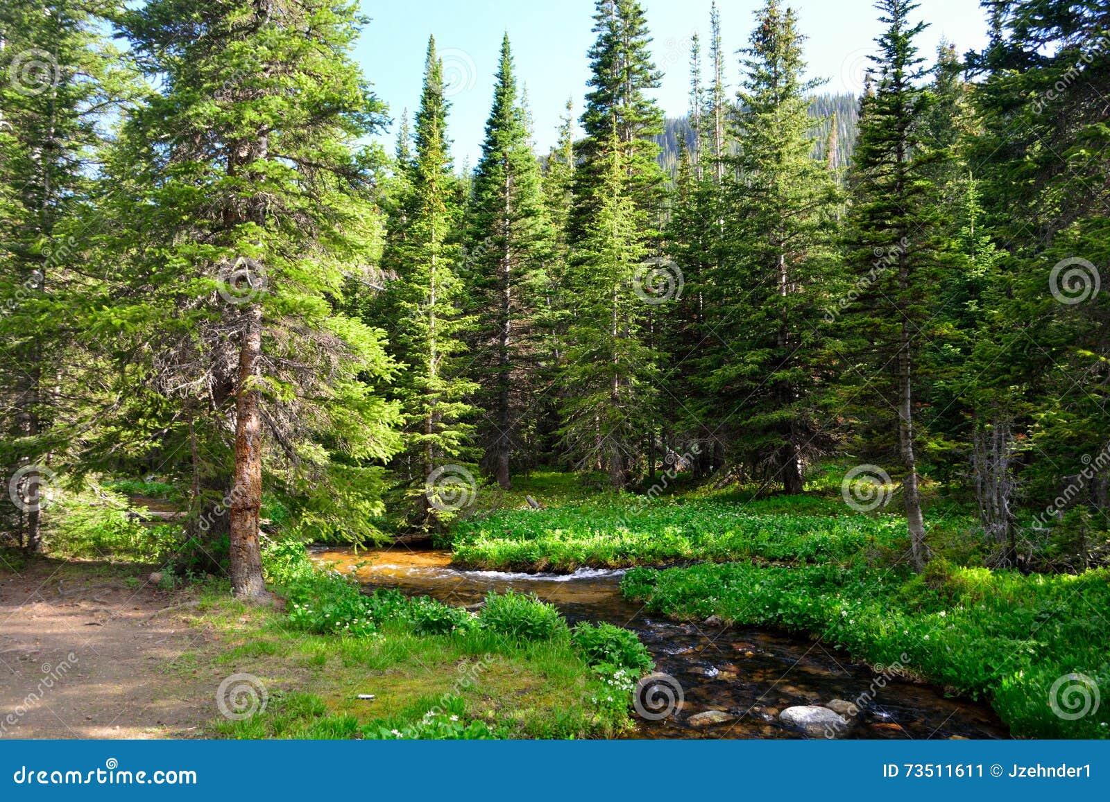 Поток горы окруженный соснами в лесе