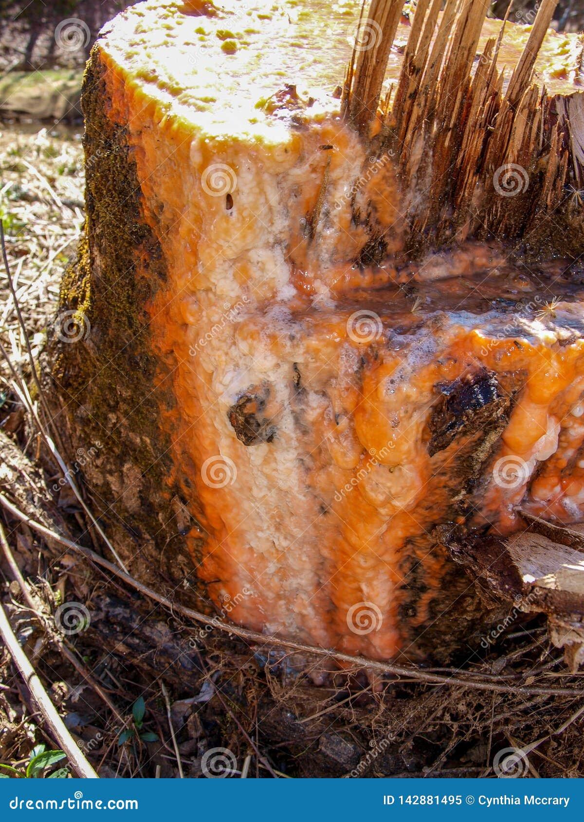 Поток шлама на стволе дерева тополя