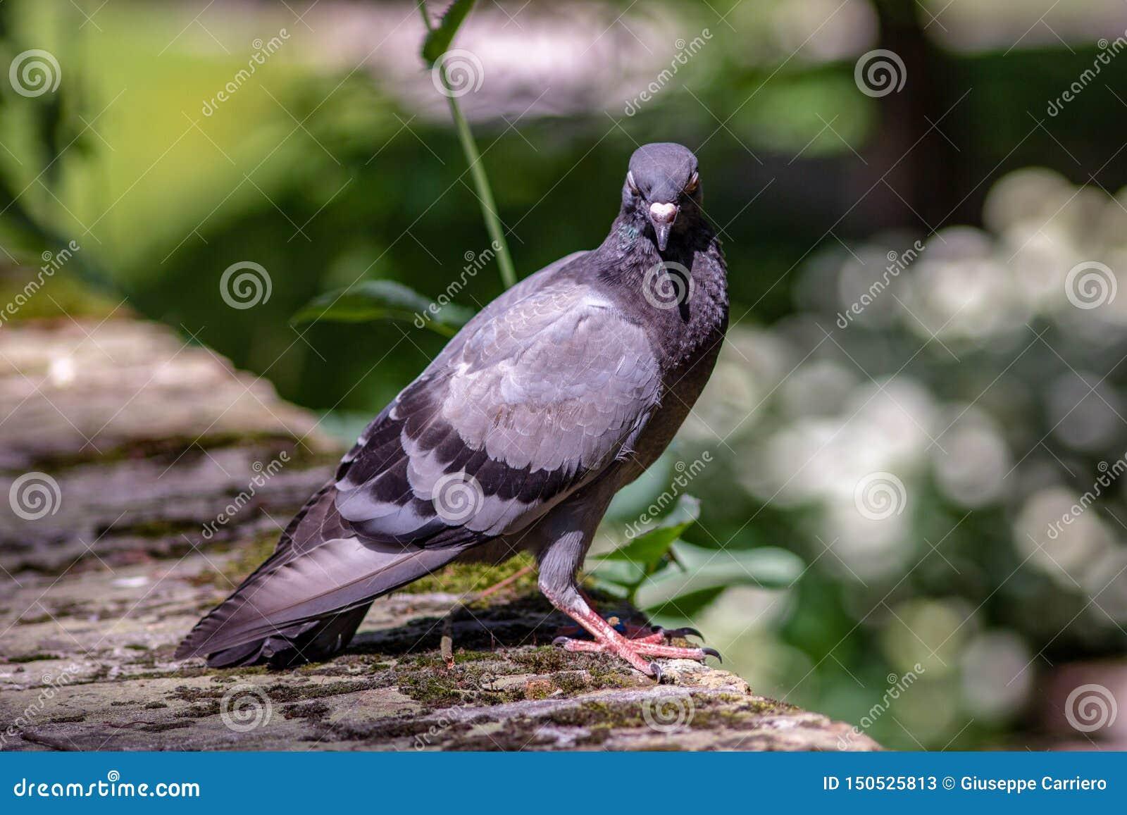 Почтовый голубь разнообразие domestica Columba Livia отечественного голубя производное от восточного дикого голубя, genetically