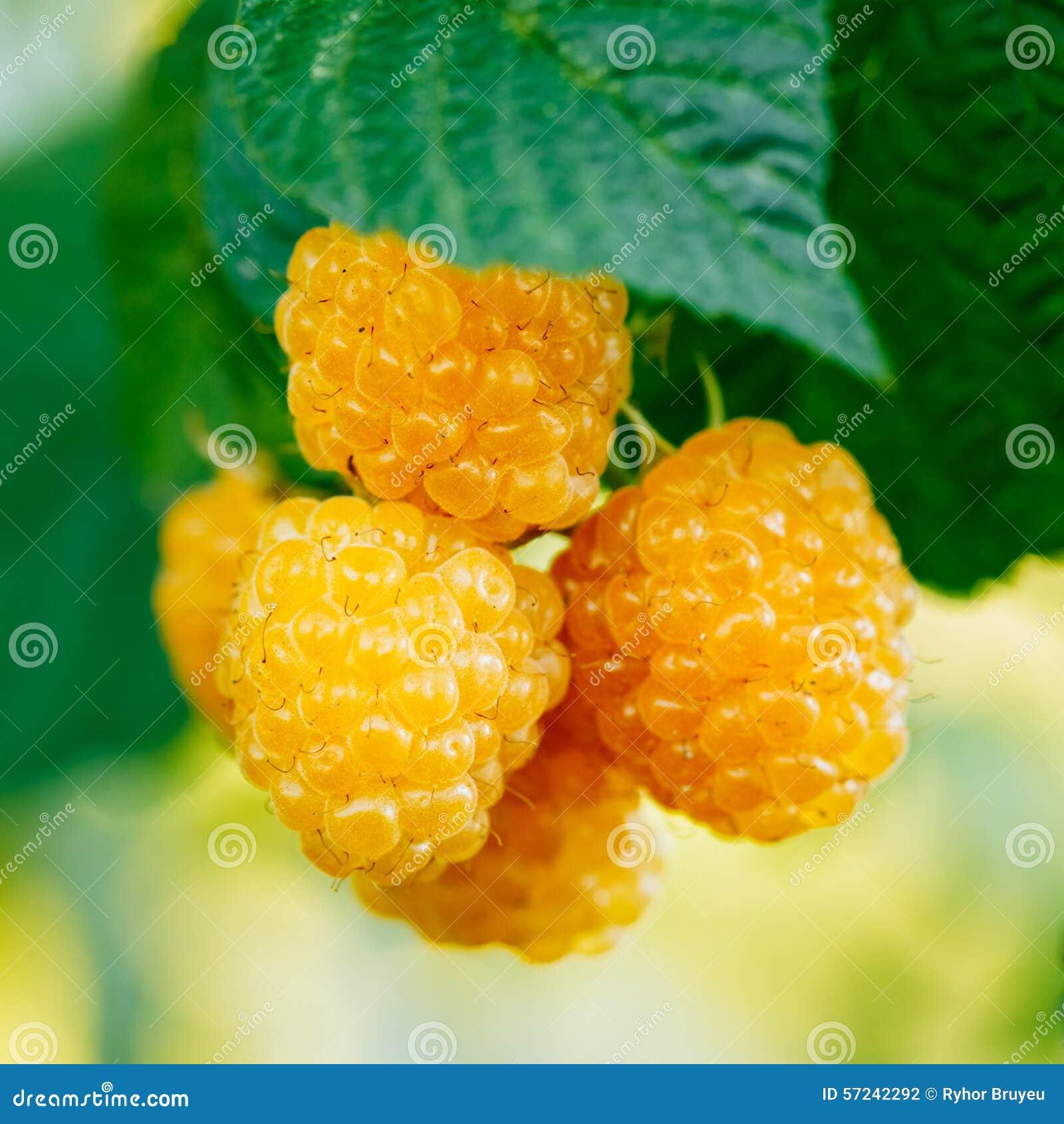 Поленики Растущий органический крупный план ягод зрело