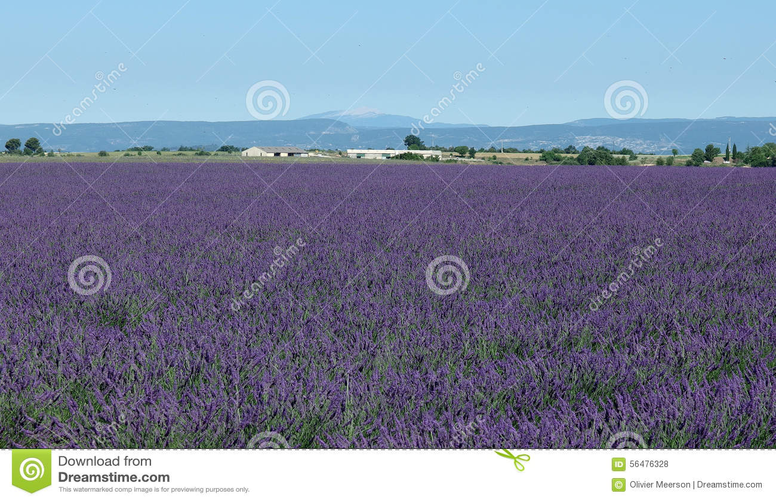 Поле лаванды, Провансаль, к югу от Франции