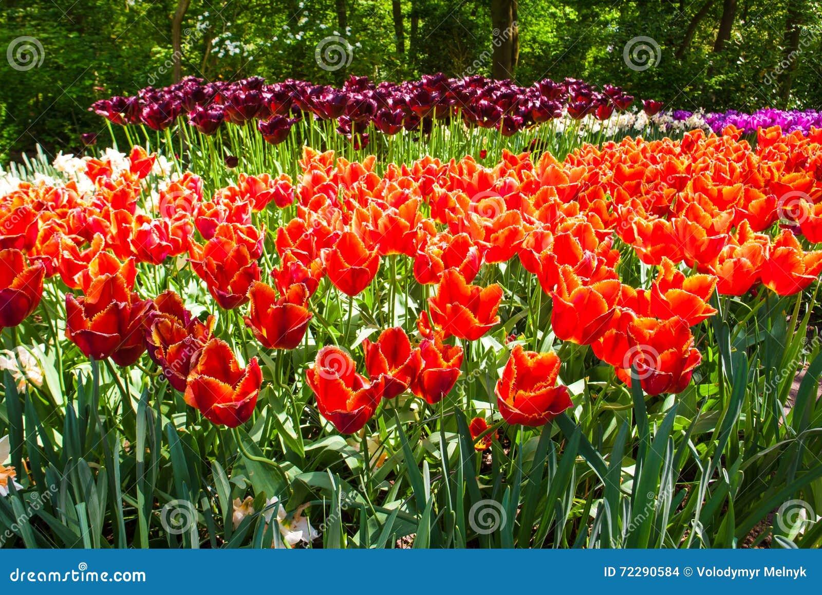 Download Поле в садах Keukenhof, Lisse тюльпана, Нидерланды Стоковое Фото - изображение насчитывающей blooping, свеже: 72290584