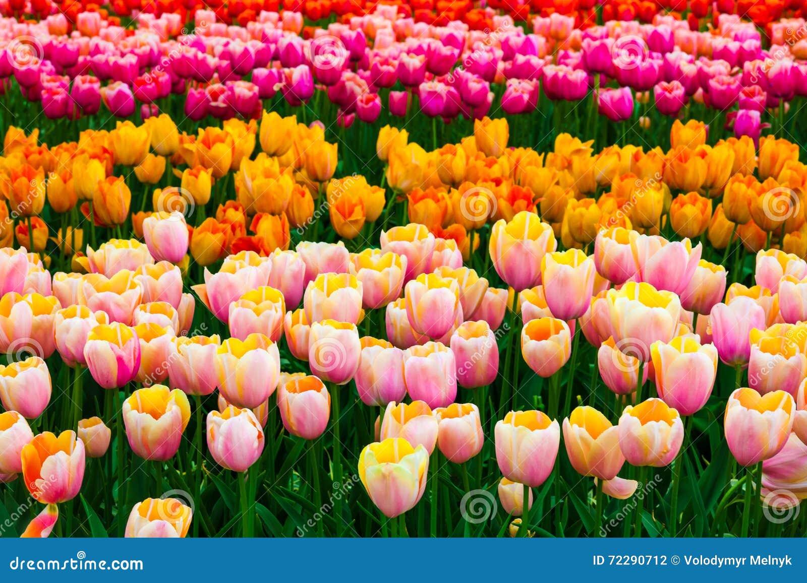 Download Поле в садах Keukenhof, Lisse тюльпана, Нидерланды Стоковое Фото - изображение насчитывающей флора, blooping: 72290712