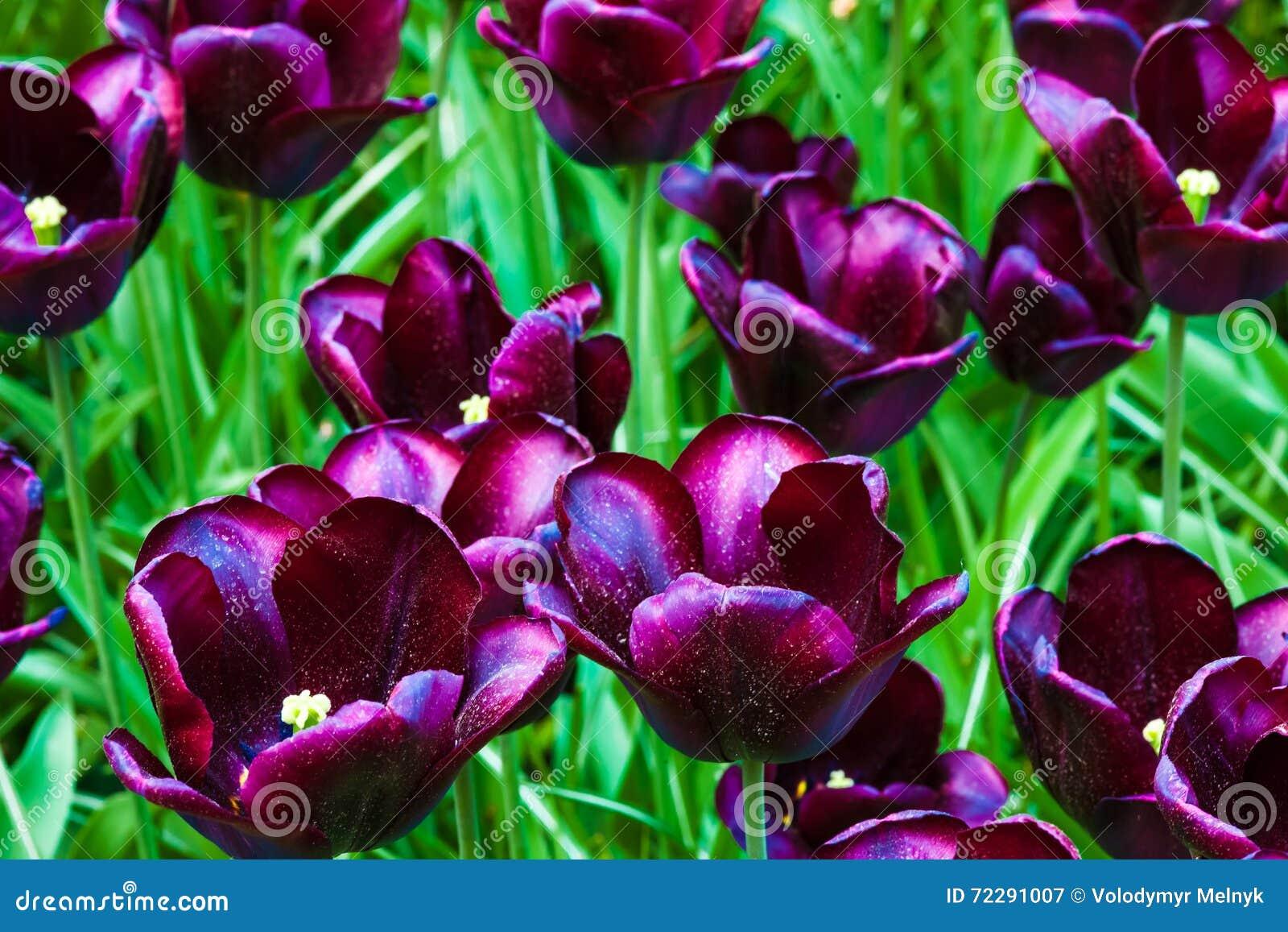 Download Поле в садах Keukenhof, Lisse тюльпана, Нидерланды Стоковое Изображение - изображение насчитывающей макрос, green: 72291007