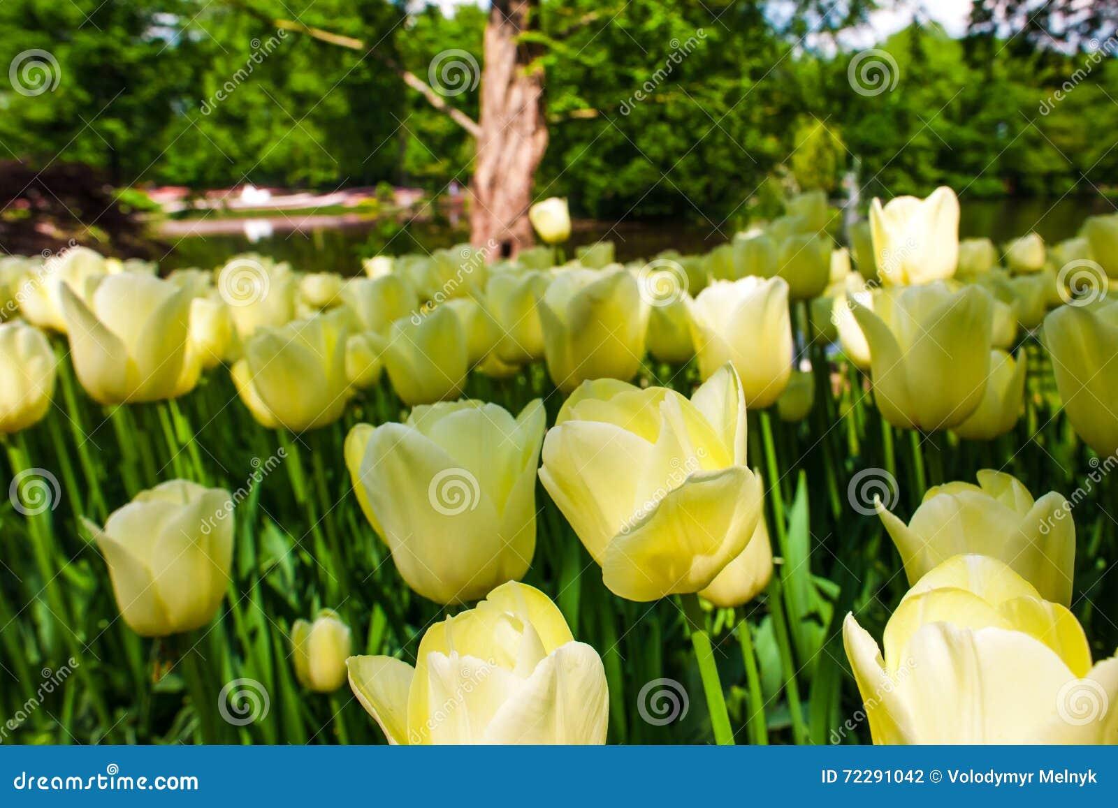 Download Поле в садах Keukenhof, Lisse тюльпана, Нидерланды Стоковое Фото - изображение насчитывающей вполне, backhoe: 72291042