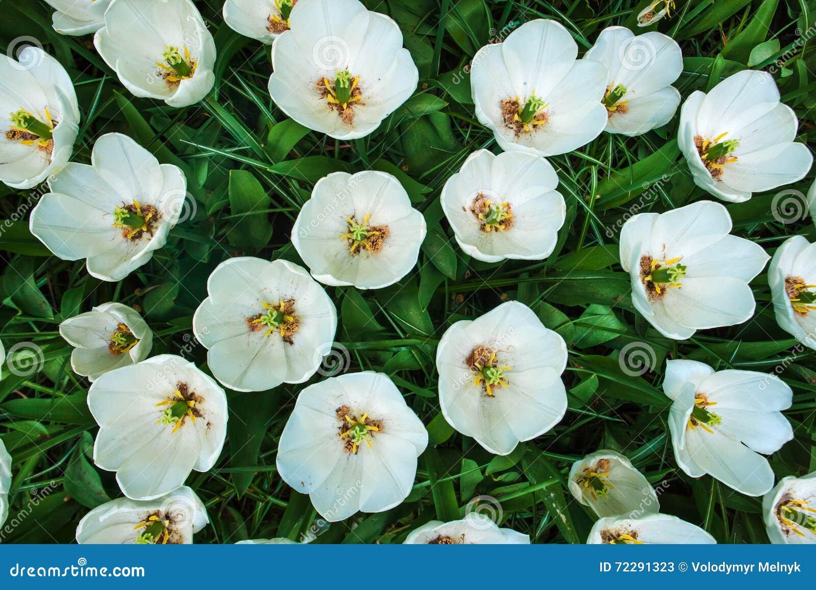 Download Поле в садах Keukenhof, Lisse тюльпана, Нидерланды Стоковое Изображение - изображение насчитывающей сад, кровопролитное: 72291323