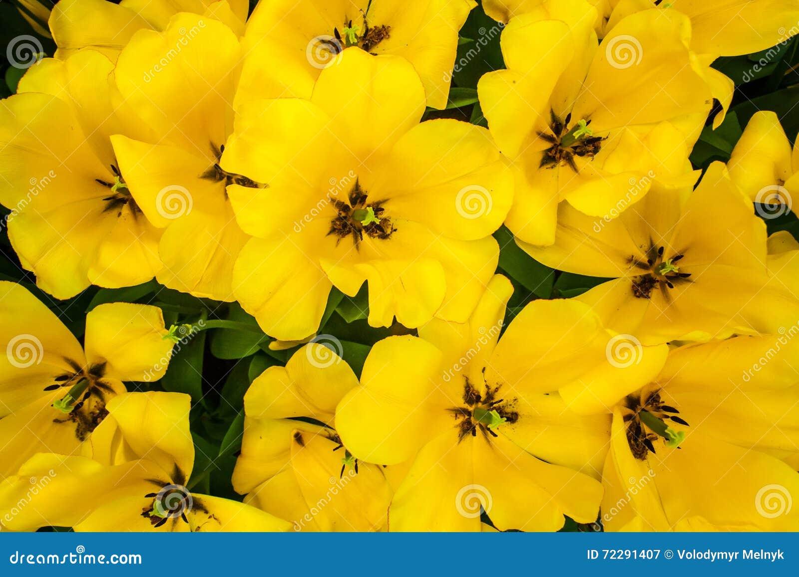 Download Поле в садах Keukenhof, Lisse тюльпана, Нидерланды Стоковое Изображение - изображение насчитывающей вполне, цветок: 72291407