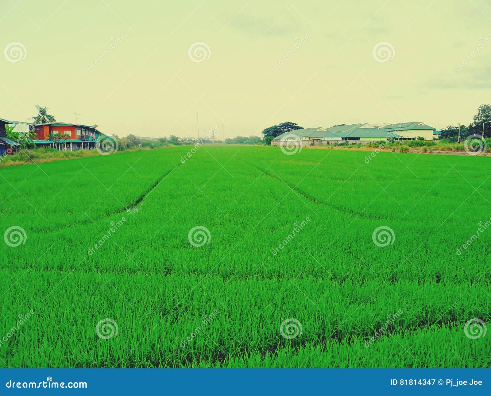 Поле и небо риса