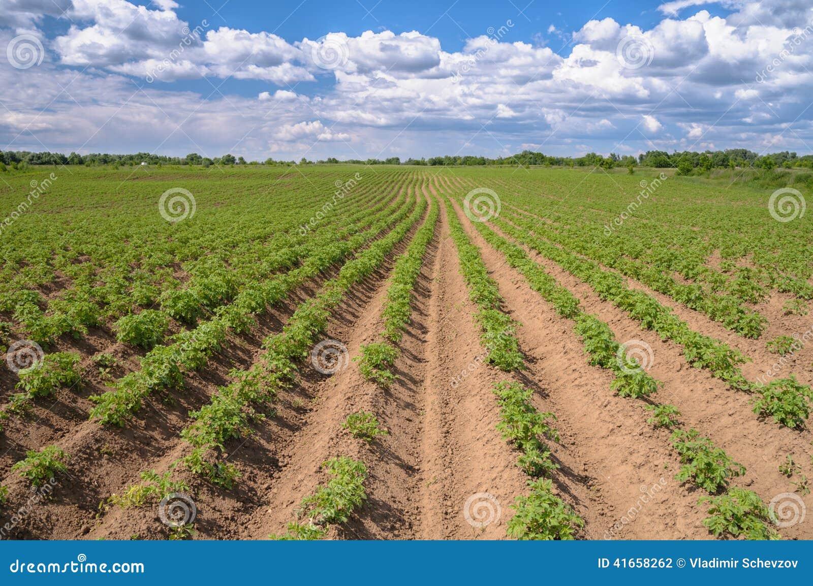 Поле картошки засорителя с голубым небом