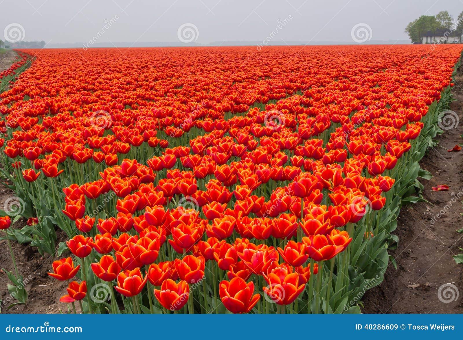 Поле пламенистая красной и апельсина покрасило тюльпаны