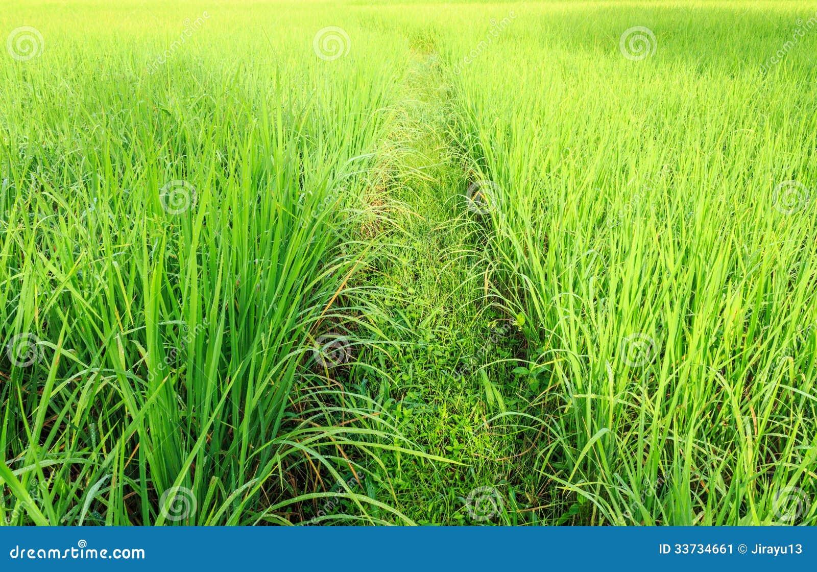 Поле риса Таиланда