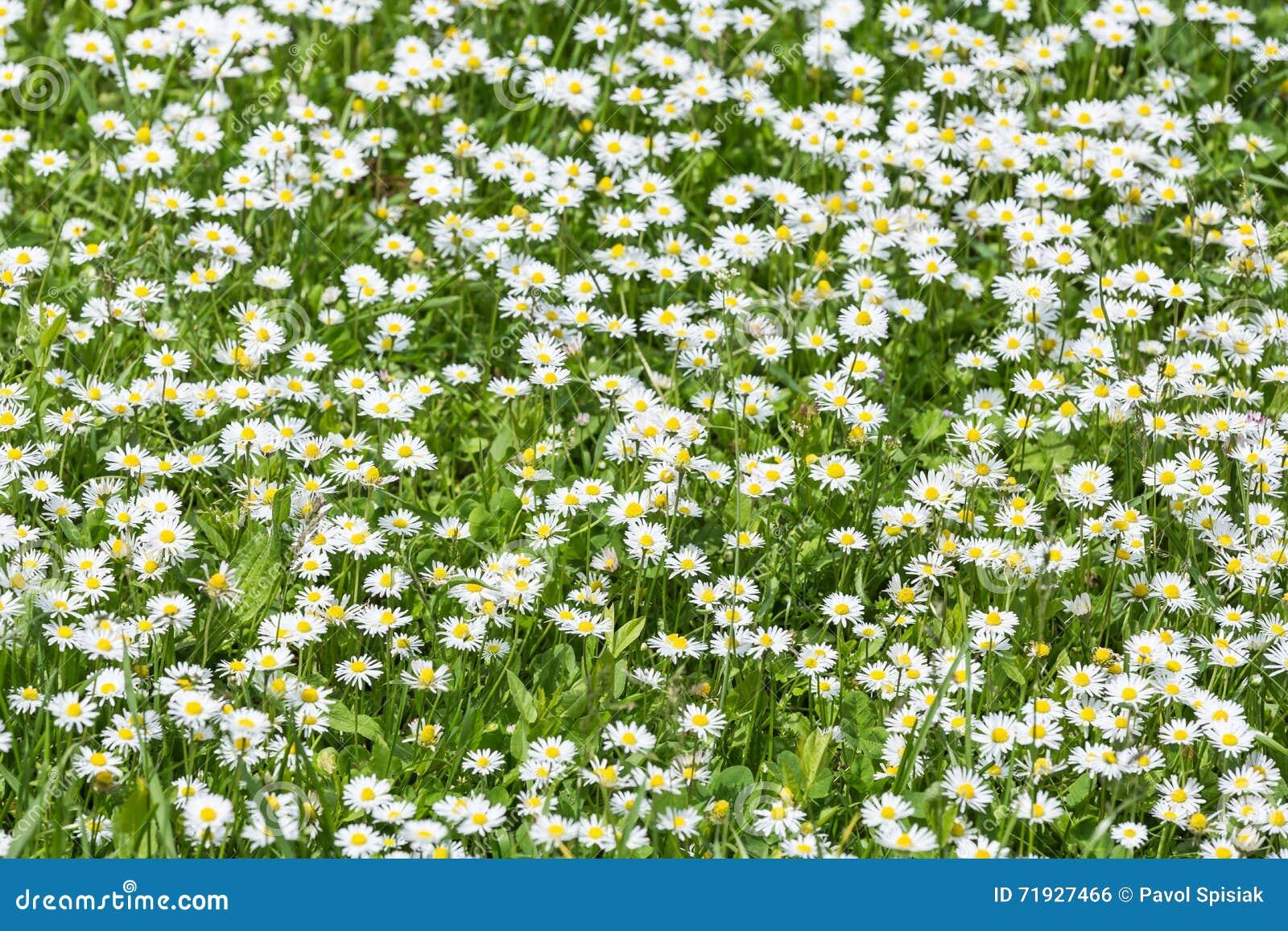 Поле цветков маргаритки
