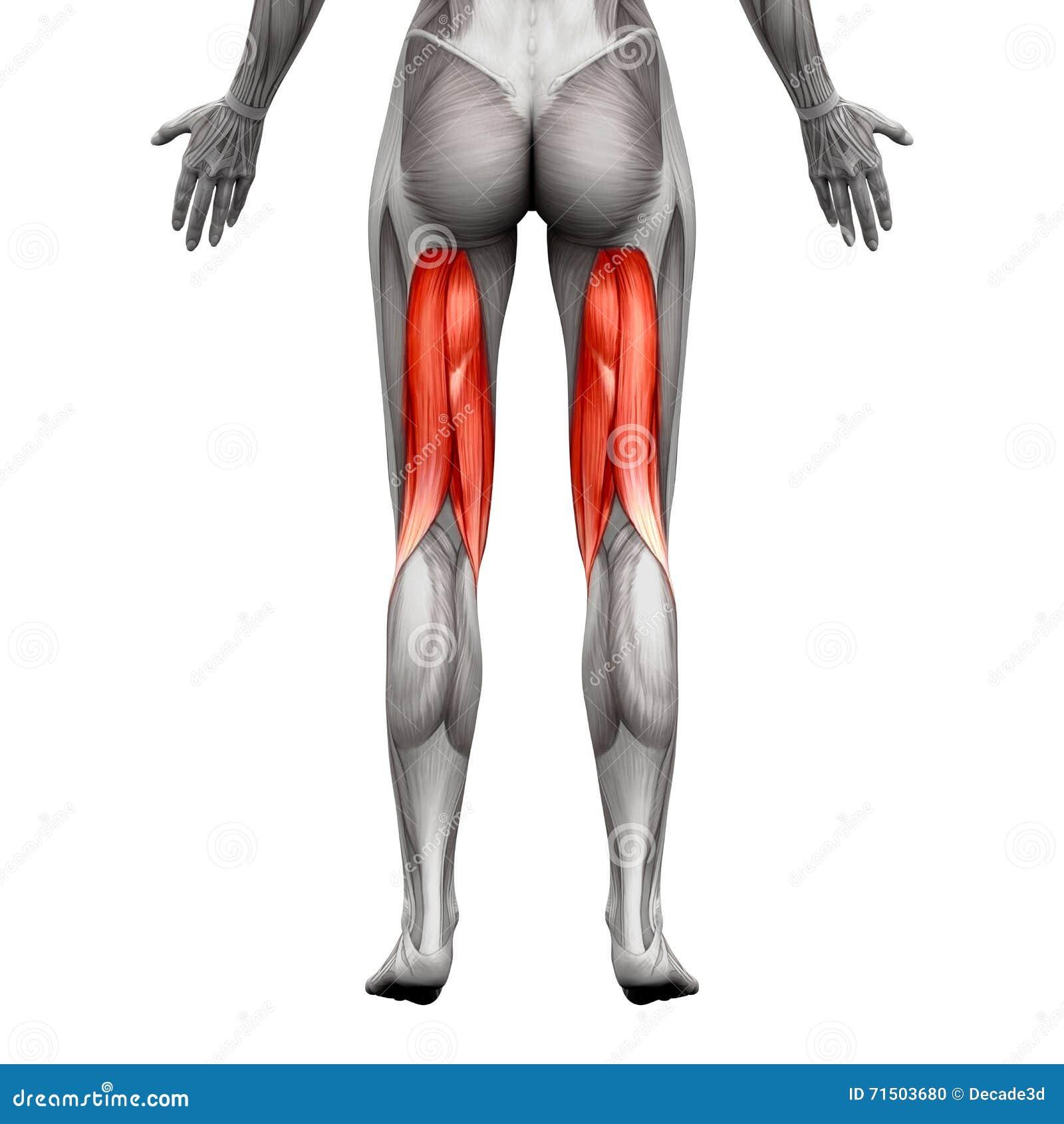 Подколенные сухожилия Muscles - мышца анатомии изолированная на бело- illus 3D