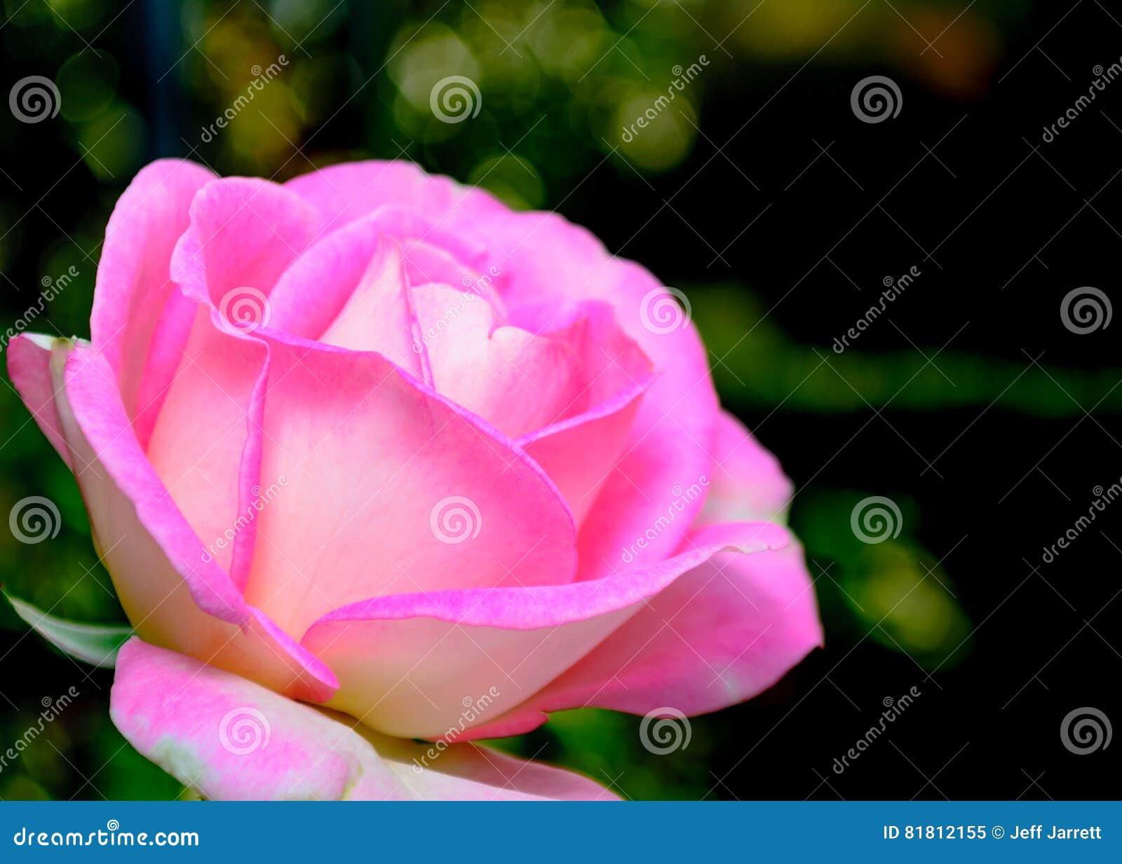 поднимающее вверх близкой розы пинка одиночное
