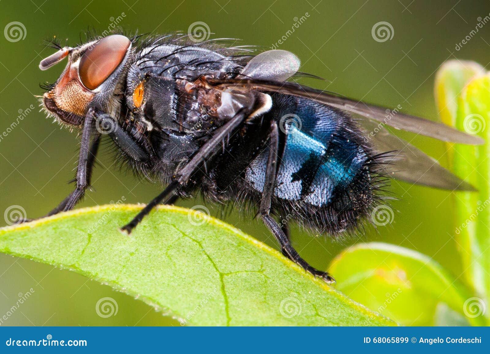 Поднимающее вверх мухы близкое, макрос насекомого bluejacket