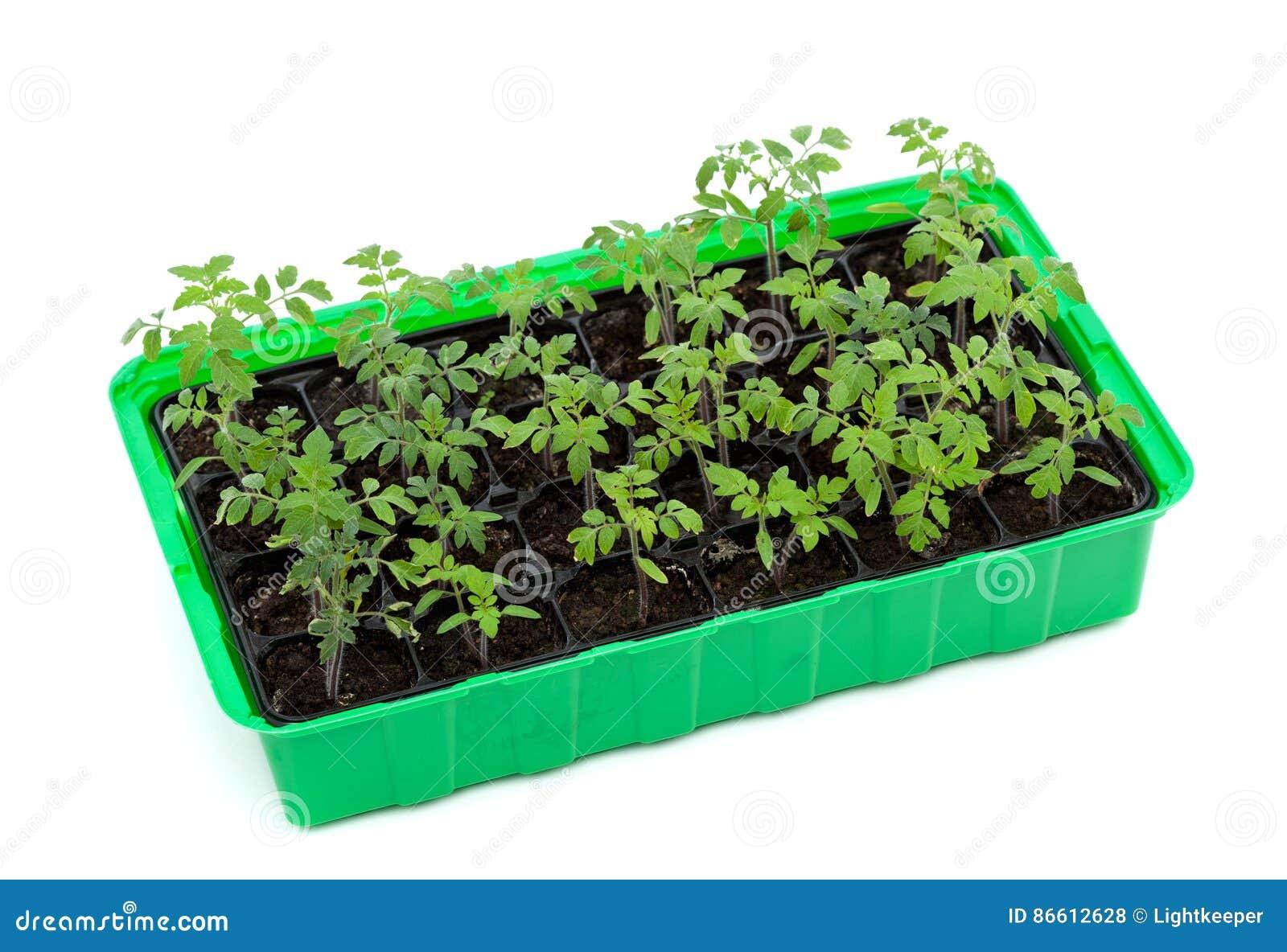 поднос томата сеянцев прорастания