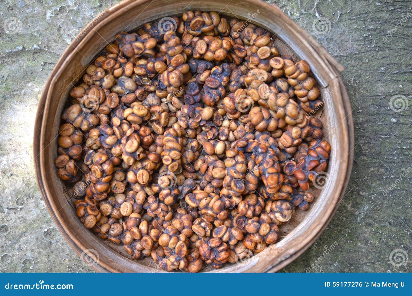 Поднос poo luwak содержа усвоенные кофейные зерна