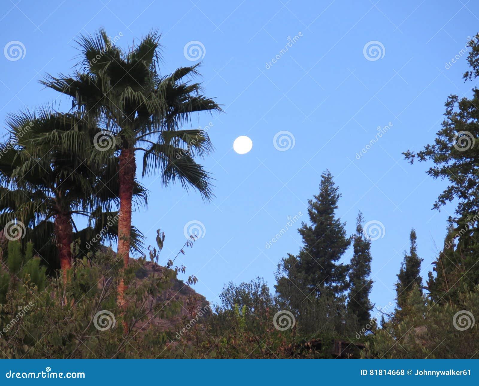Полнолуние и пальма