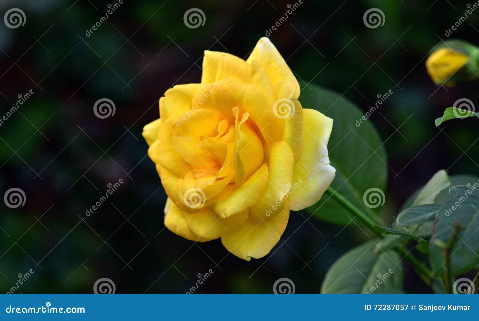 Download поднял желтый цвет стоковое изображение. изображение насчитывающей цветы - 72287057