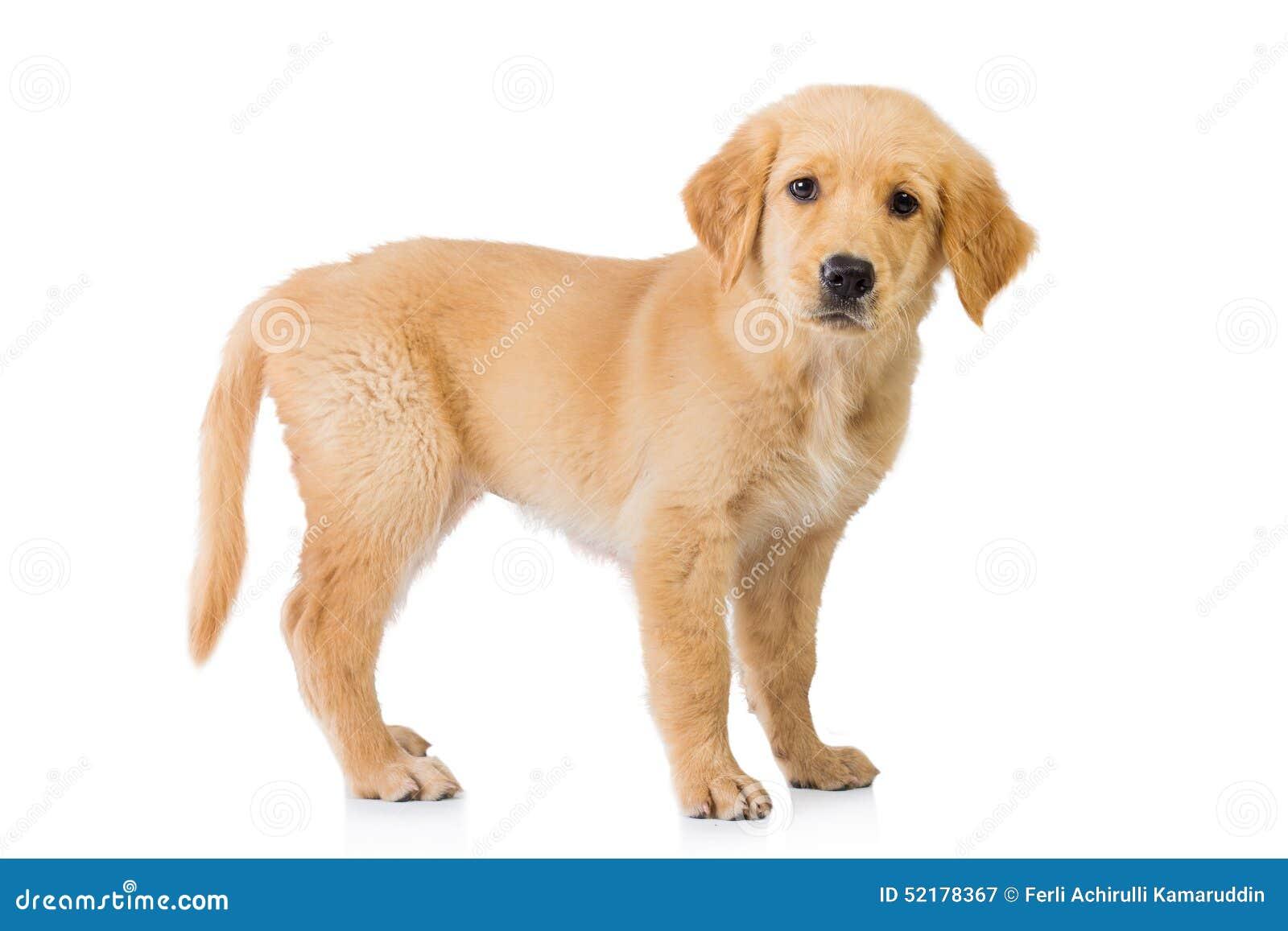 Положение собаки золотого retriever изолированное в белой предпосылке
