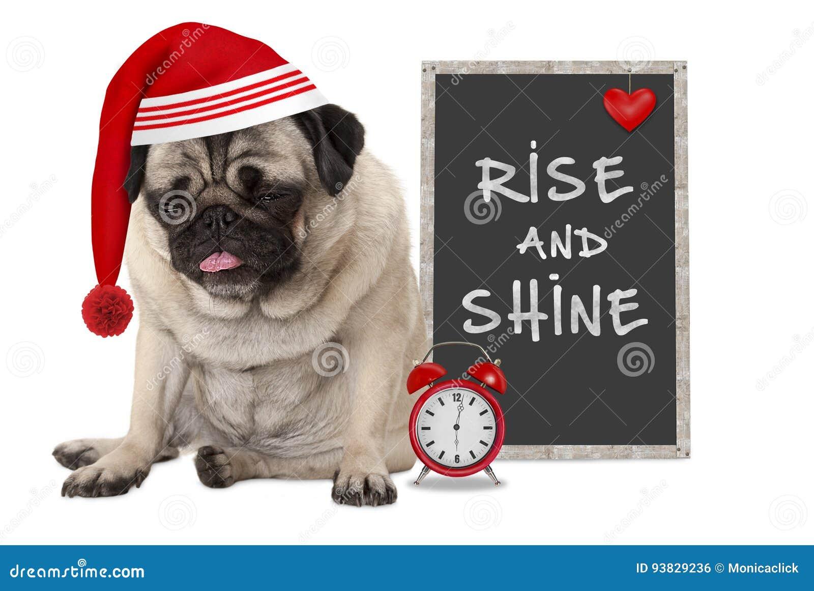 Получающ вверх в раннем утре, сварливая собака щенка мопса с красной крышкой спать, будильник и знак с текстом поднимают и светят