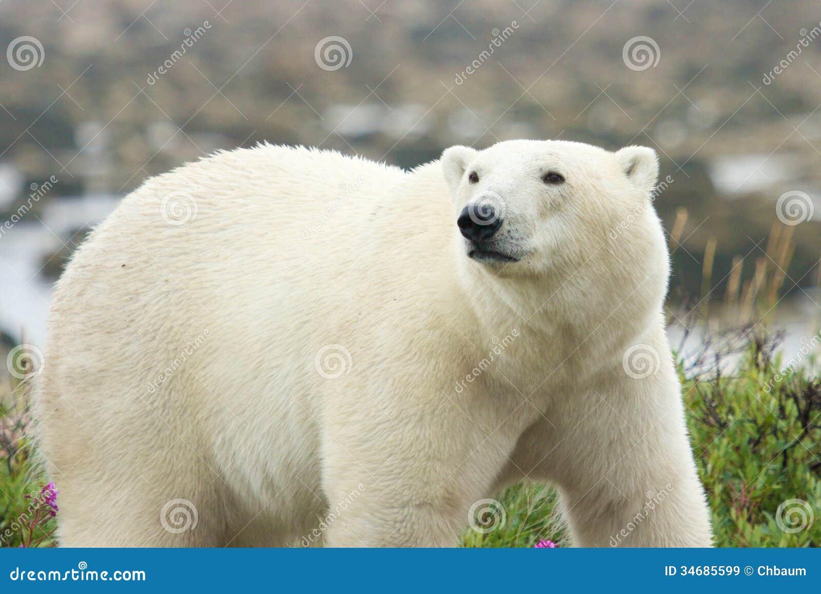 Полярный медведь на вахте