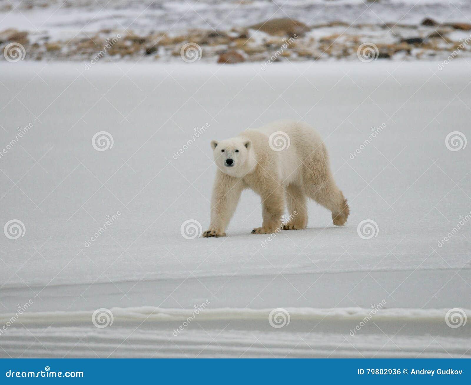 Полярный медведь на тундре снежок Канада