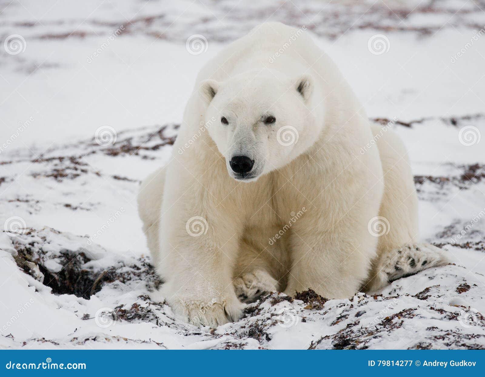 Полярный медведь сидя в снеге на тундре Канада Национальный парк Черчилля