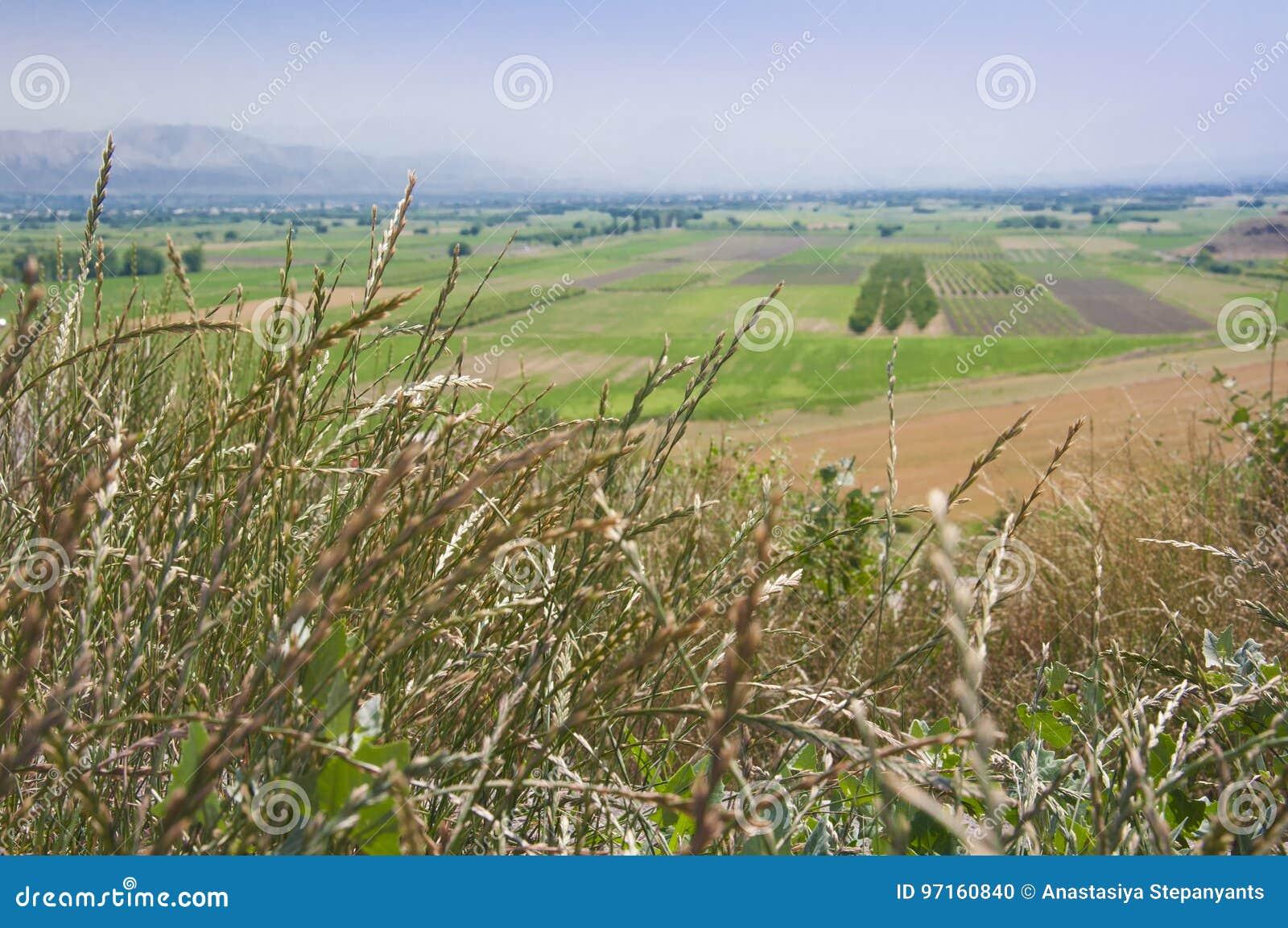 Поля в долине Арарата в армянских гористых местностях Конец-вверх колосков травы