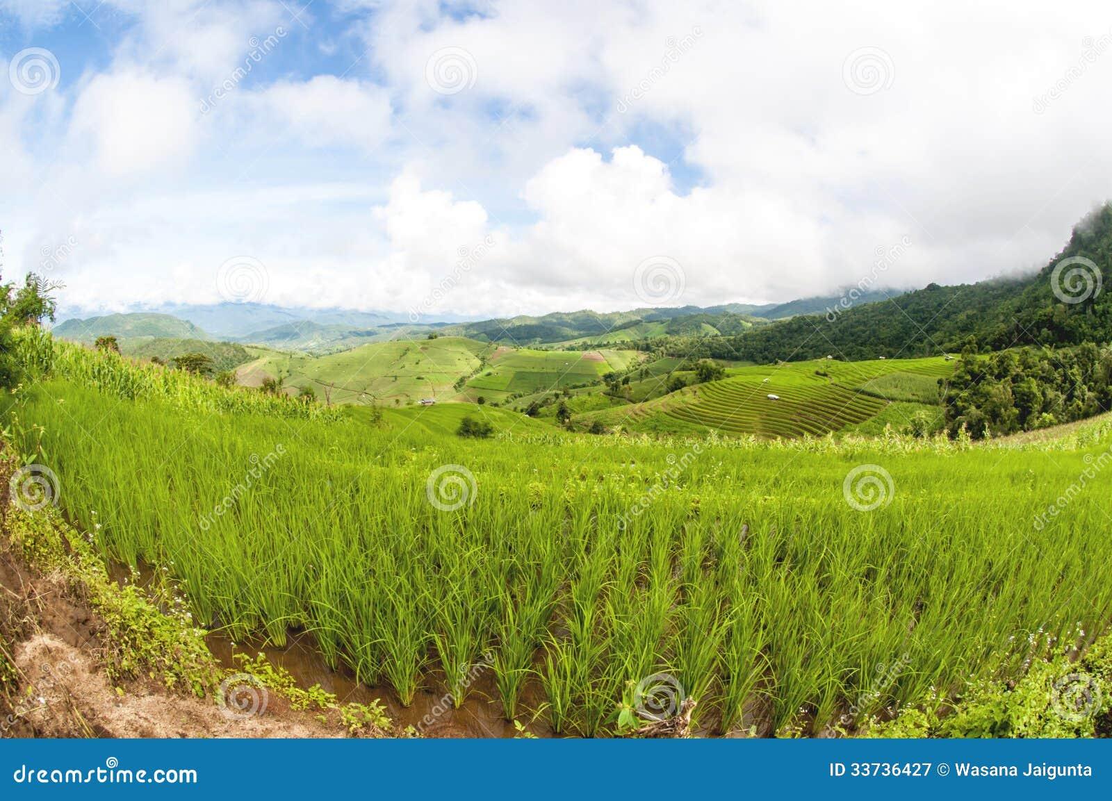 Поля риса террасы