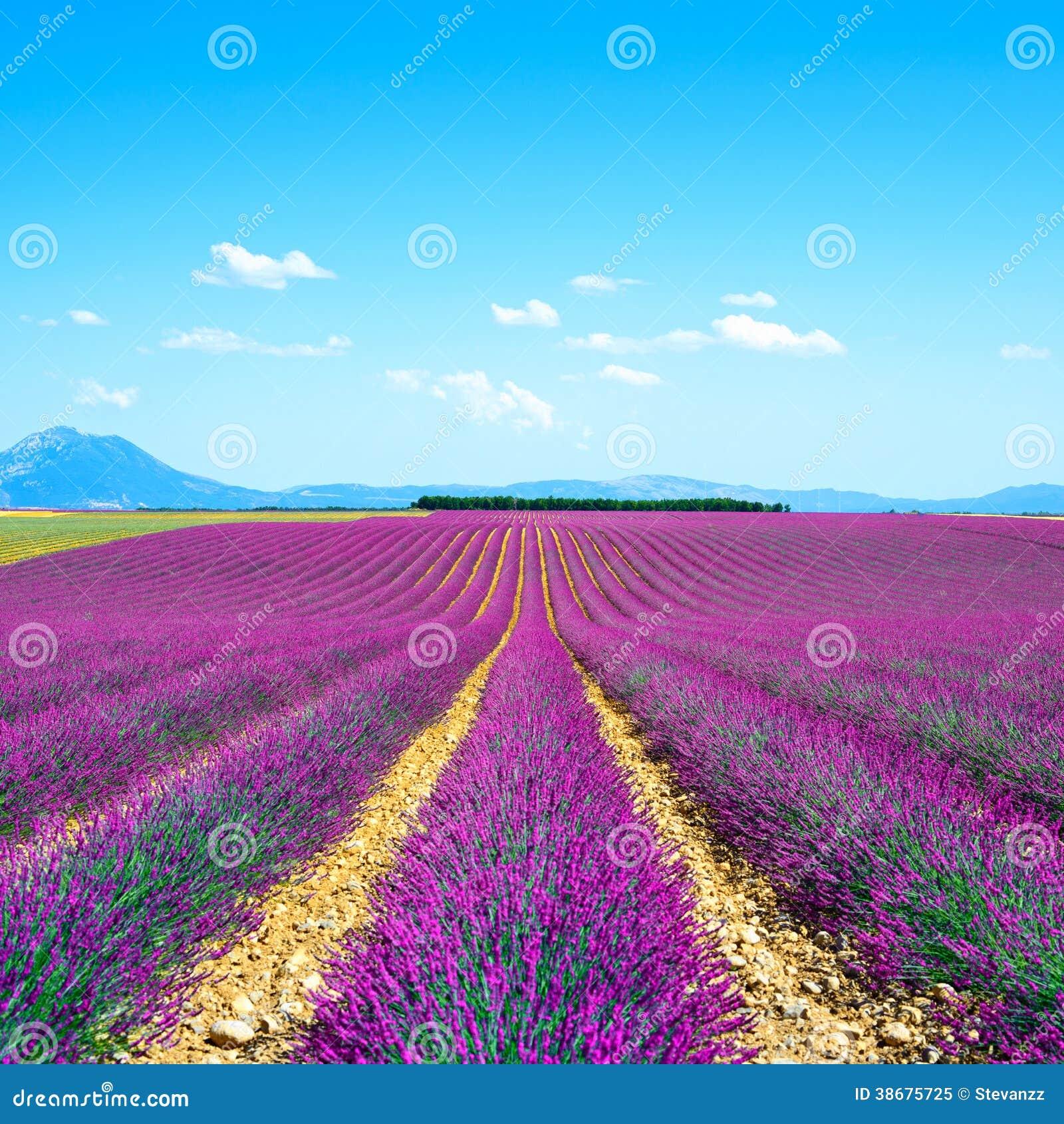 Поля цветка лаванды. Провансаль Франция